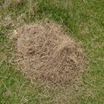 芝生が枯れたら再生できる?