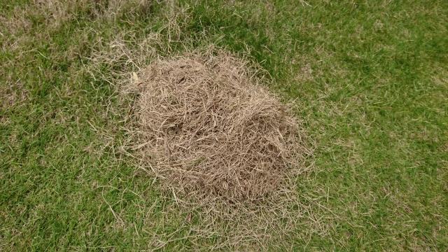 芝生が枯れたら再生可能か?枯れたと判断する基準と肥料のあげすぎについて