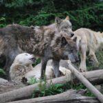 狼の愛情表現の「噛む」「鼻をこする」の意味は?つがいで一生過ごすのはなんで?